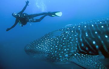 Walhai bei Wolf-Darwin Galapagos