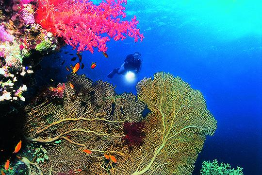 Gorgonien Red Sea