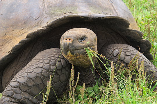 Galapagos Landschildkröte