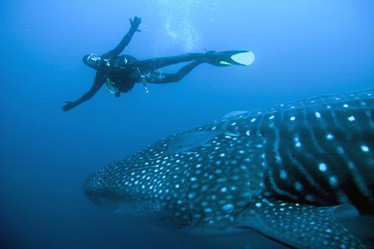 Tauchen mit Walhaien