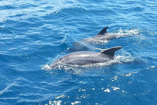 Delfine vor Pula