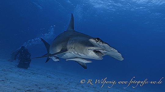 Der große Hammerhai
